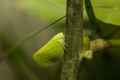 katydid Стоковое Изображение RF