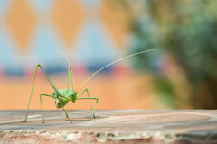 Katydid against a colorful background. Royalty Free Stock Photo