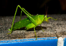 Katydid bath Stock Images