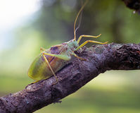 Katydid on a branch Royalty Free Stock Images