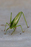 Katydid or Bush Cricket Stock Image