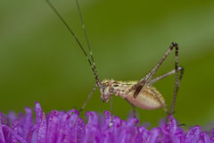 A katydid/bush cricket nymph on purple porcupine f Royalty Free Stock Image