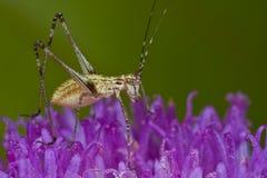 Katydid/bush cricket on purple wildflower Royalty Free Stock Images