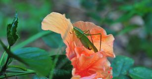 Katydid bush cricket sitting on a fancy hibiscus flower. The only species in the genus Pterophylla, the Common True Katydid formerly called Northern True royalty free stock photography