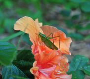 Katydid bush cricket sitting on a fancy hibiscus flower. The only species in the genus Pterophylla, the Common True Katydid formerly called Northern True royalty free stock image