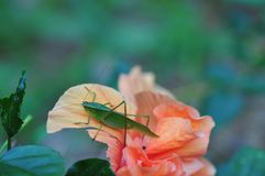 Katydid bush cricket sitting on a fancy hibiscus flower. The only species in the genus Pterophylla, the Common True Katydid formerly called Northern True stock images