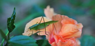 Katydid bush cricket sitting on a fancy hibiscus flower. The only species in the genus Pterophylla, the Common True Katydid formerly called Northern True stock photography