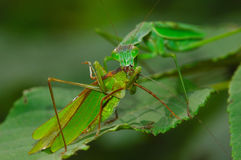 katydid chwytająca modliszki obraz stock
