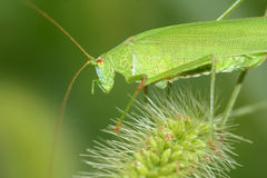 Katydid Stock Photography