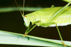 Katydid. The close-up of a green katydid. Scientific name: longhorned grasshoppers Royalty Free Stock Photo