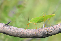 Katydid. The close-up of green katydid on treen branch. Scientific name: longhorned grasshoppers Stock Photo