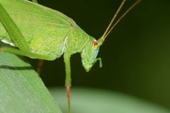 Katydid. The close-up of katydid. Scientific name: longhorned grasshoppers Stock Photo
