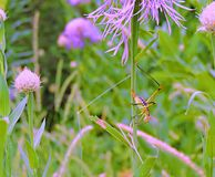 Katydid. This colorful katydid hangs out around these beautiful purple flowers waiting for lunch stock images