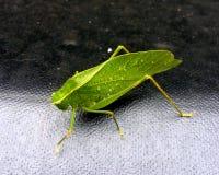 Katydid con gotas de lluvia Fotos de archivo