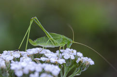 Katydid cricket Royalty Free Stock Photo
