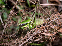 Katydid cricket in undergrowth. Royalty Free Stock Images