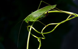 Katydid on curling Tendril Royalty Free Stock Images