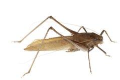 Katydid del insecto Fotografía de archivo