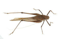Katydid del insecto aislado Fotos de archivo