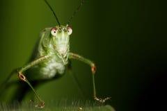 Katydid face portrait stock images