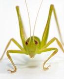 Katydid frontal. A closeup of a green katydid on a white background Stock Photos