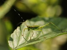 Katydid Royalty Free Stock Photos