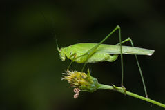 Katydid/grilo do arbusto Foto de Stock