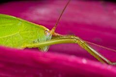 Katydid/grilo do arbusto na folha cor-de-rosa Fotos de Stock Royalty Free