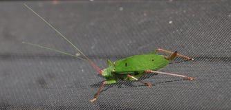 Katydid insect bush-cricket Tettigonia viridissima. Katydid insect clinging to a window screen also known as bush-cricket Tettigonia viridissima in North Georiga stock photos