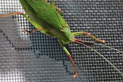 Katydid insect bush-cricket Tettigonia viridissima. Katydid insect clinging to a window screen also known as bush-cricket Tettigonia viridissima in North Georiga stock photography