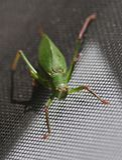 Katydid insect bush-cricket Tettigonia viridissima. Katydid insect clinging to a window screen also known as bush-cricket Tettigonia viridissima in North Georiga stock images