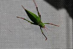 Katydid insect bush-cricket Tettigonia viridissima. Katydid insect clinging to a window screen also known as bush-cricket Tettigonia viridissima in North Georiga stock image