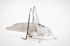 Katydid insect Stock Photos