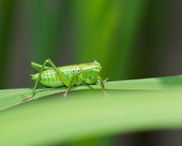Katydid on a leaf Royalty Free Stock Image