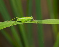 Katydid on a leaf Stock Images