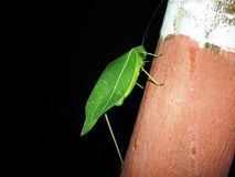 Katydid - Leaf Insect. A Katydid mimicking as a leaf... A Perfect Camouflage stock photo