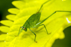 Katydid on leaf Stock Photos