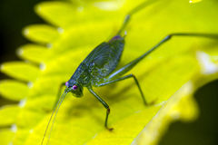 Katydid on leaf Royalty Free Stock Images