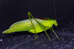 Katydid Royalty Free Stock Photo