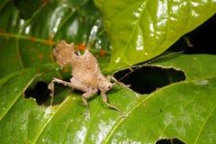 katydid liść mimik Fotografia Royalty Free
