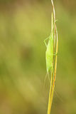 Katydid nymph Stock Image