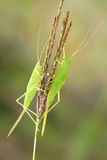 Katydid nymph Stock Photo