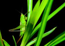 Katydid Nymph Stock Images