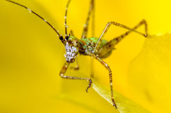 Katydid Nymph. On a yellow cactus bloom Royalty Free Stock Image