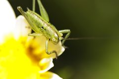 Katydid (Odontura glabricauda), male nymph royalty free stock image