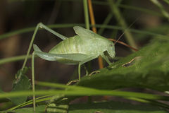 Katydid - Ontario, Canada Royalty Free Stock Images