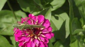 Katydid op bloem stock videobeelden