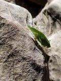 Katydid op een rots royalty-vrije stock fotografie