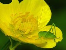 Katydid op Gele Bloem Stock Afbeeldingen