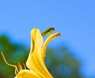 Katydid på gula Lilly Flower royaltyfria foton